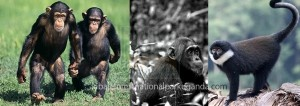 primates of Kibale