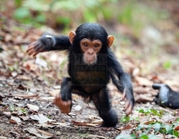 Chimpanzees of Kyambura Gorge Kibale Forest National Park news