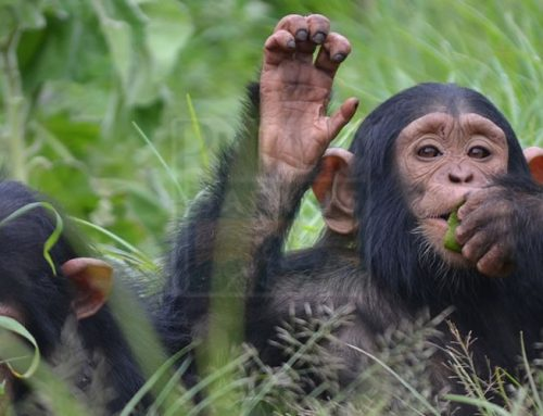 Chimpanzee trekking at the lowest point in Uganda is fun; Kyambura Gorge – Uganda safari News