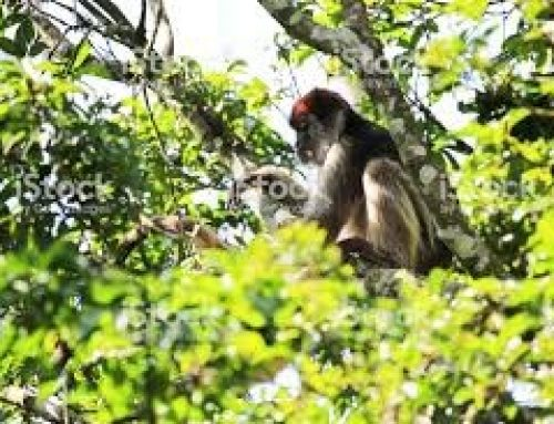 The endangered Red colobus monkey lives in the Primate capital of the World – Uganda Safari News