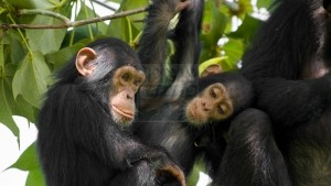 where do chimpanzees live