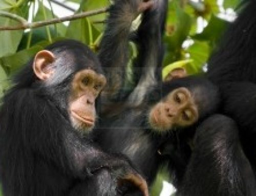 Looking For an Encounter with Chimpanzees? One Place For You Kibale National Park