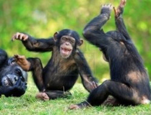 Let's Take a Uganda Chimpanzee Trekking Safari to Kibale National Park As We Have a Candid Moment with these Chimps- Uganda Safari News