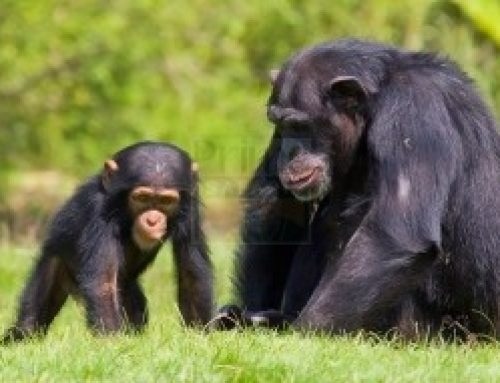 How chimpanzees parent their babies in Kibale National Park Uganda – Uganda safari News