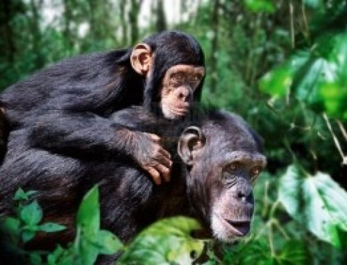 13 Reasons Why Primatologists Have To Make That Uganda Safari To Kibale National Park