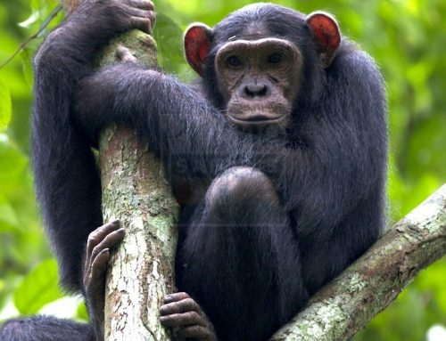 6 Days Uganda Wildlife Safari and Chimpanzee Safari