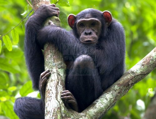 Kibale Forest National Park The Chimpanzee Capital Of The World- Uganda Safari News