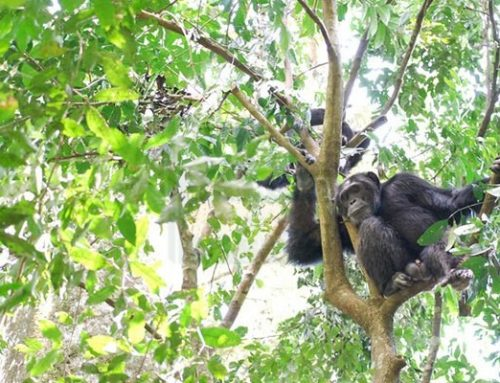 The Amazing Chimps of the World – Facts – Kibale Forest News